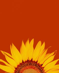 🌻🌻AUGUST – The gift of sunflowers.🌻🌻